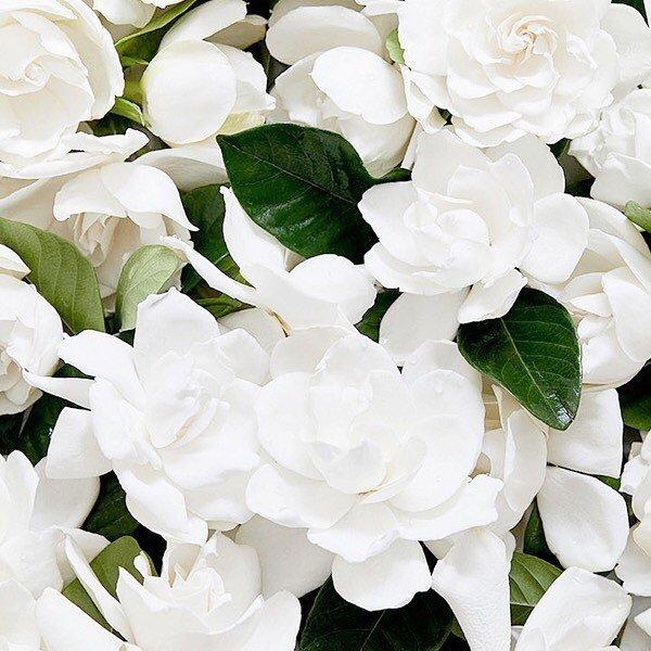 The heart of Natalie Eau de Parfum highlights signature gardenia wrapped with orange flower. nataliefragrance.com